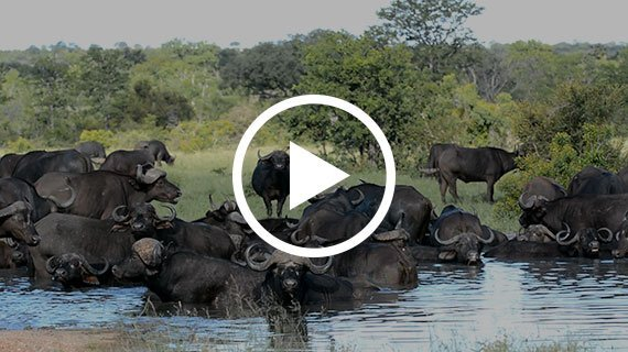 Herd of Buffalo at the waterhole opposite camp