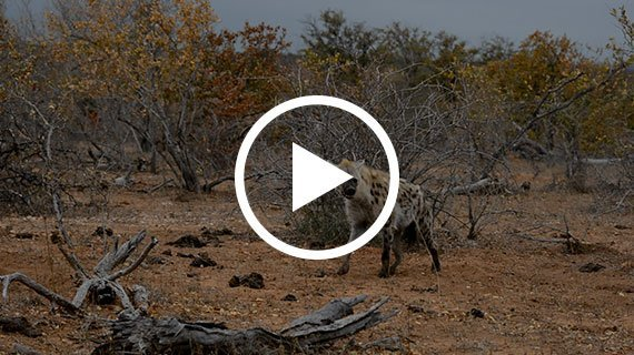 Hyena on Buffalo Kill