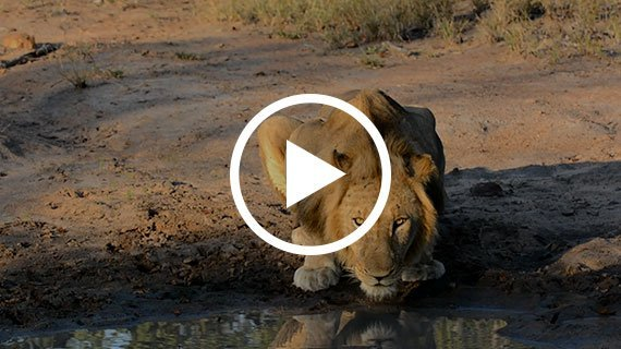 RARE SIGHTING Male Lion takes a drink