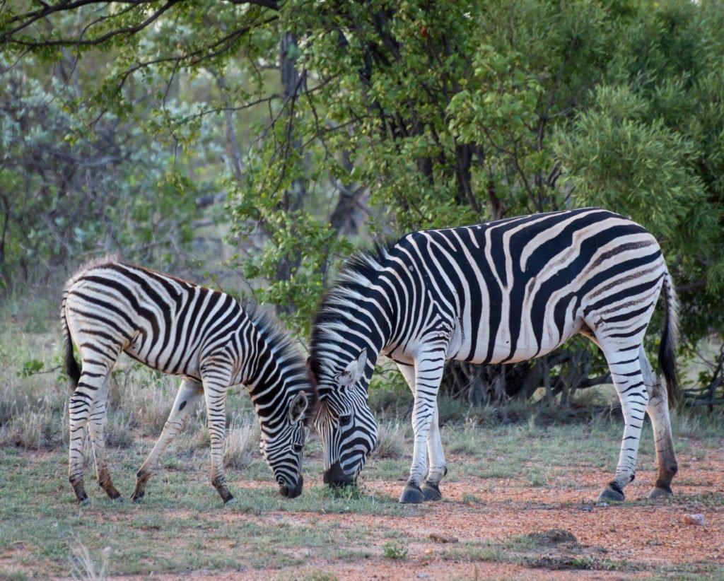 Gorgious Zebras
