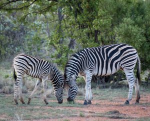Gorgious Zebras